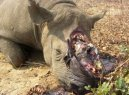 rhino poaching numbers