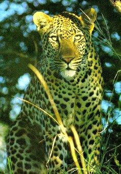 leopard habitat facts
