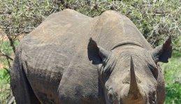 black and white rhino facts