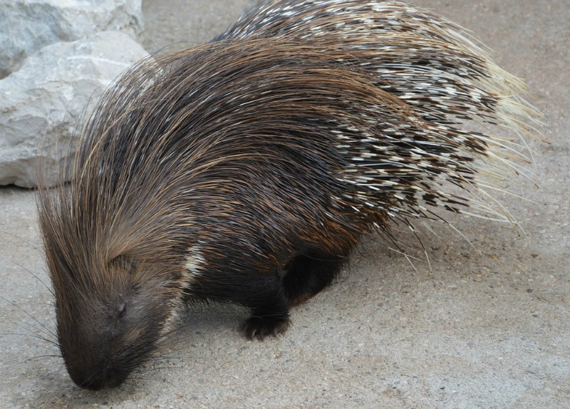 porcupines mating habits