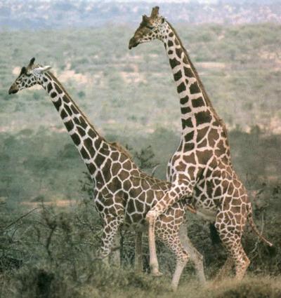 giraffe breeding