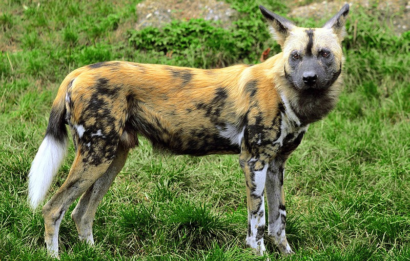 african wild dog anatomy