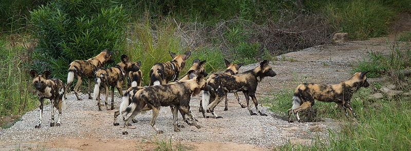 african wild dog interesting facts