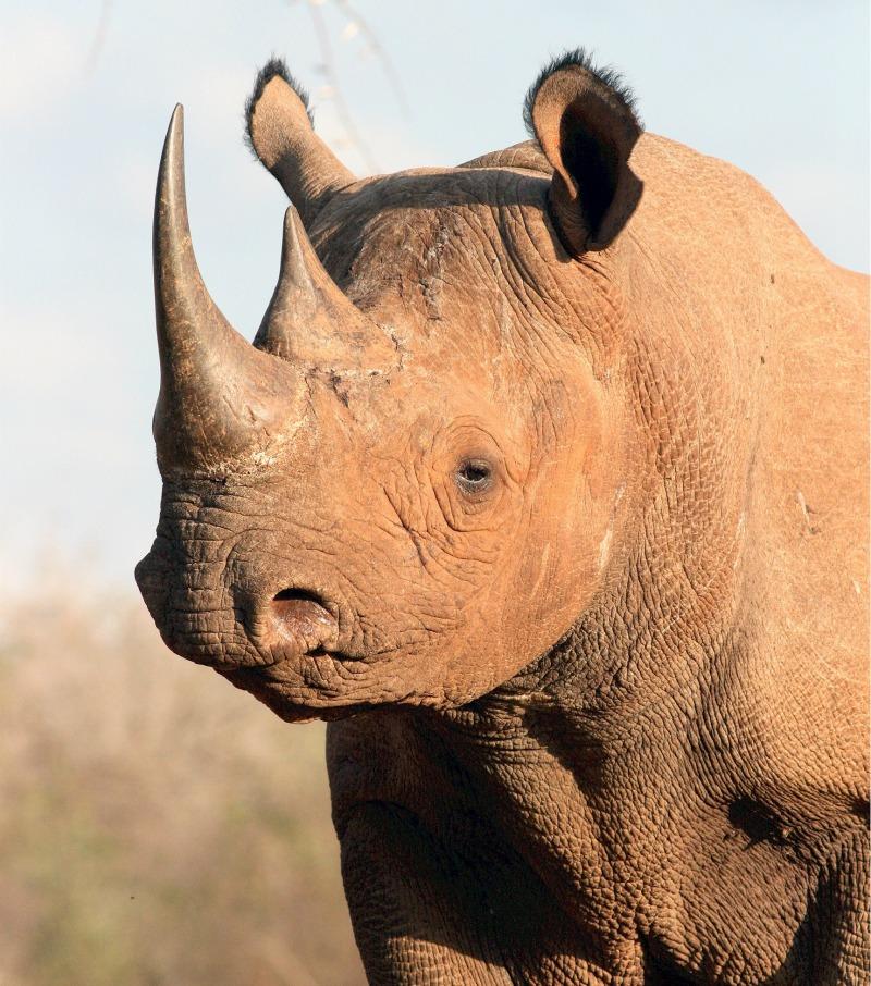Black rhinoceros facts
