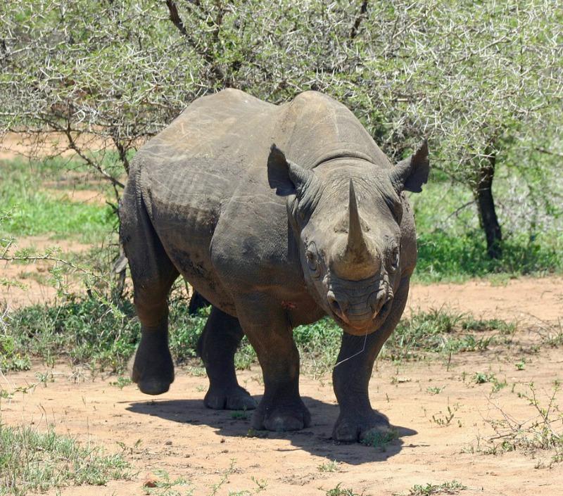 Black rhinoceros pictures