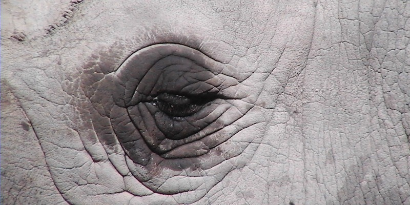 Black Rhinos poor eyesight