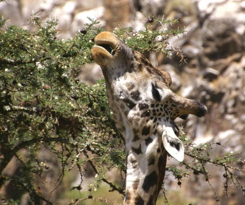 giraffe information