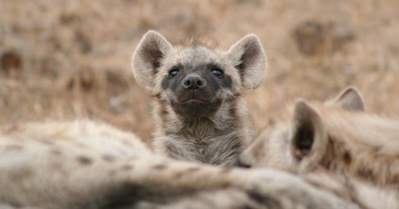 spotted hyena sound