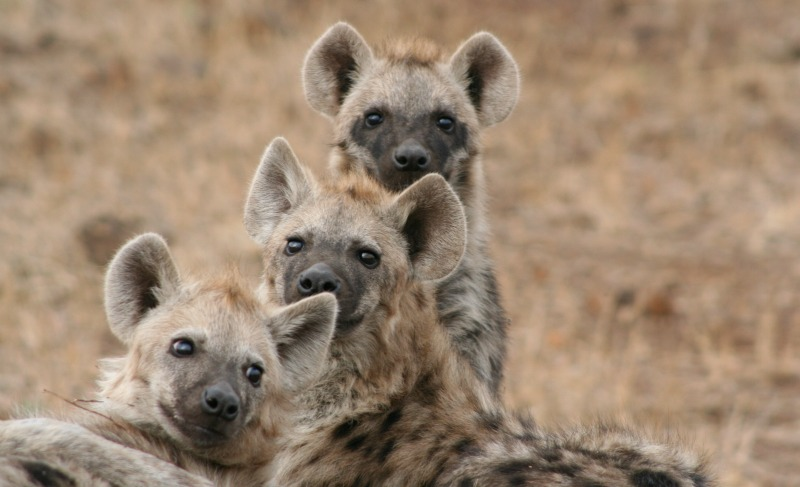 spotted hyena social structure