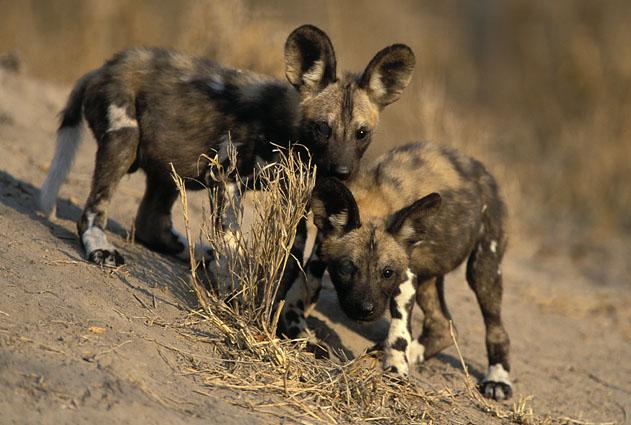 african wild dog baby