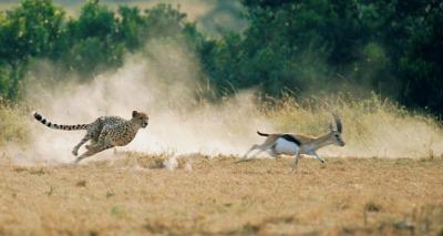 cheetah information facts