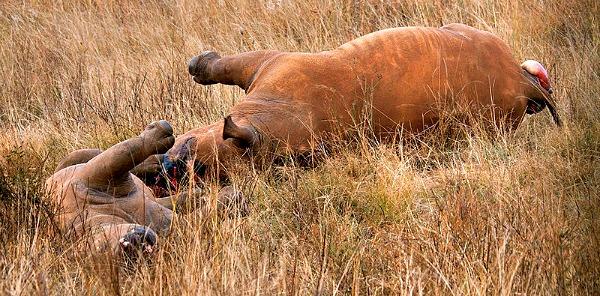rhino poaching techniques