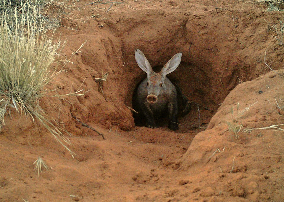 Picture of aardvark