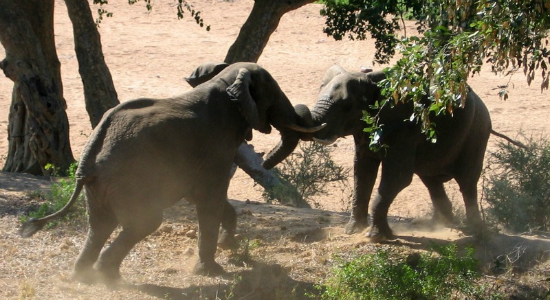 Picture of African elephant babies