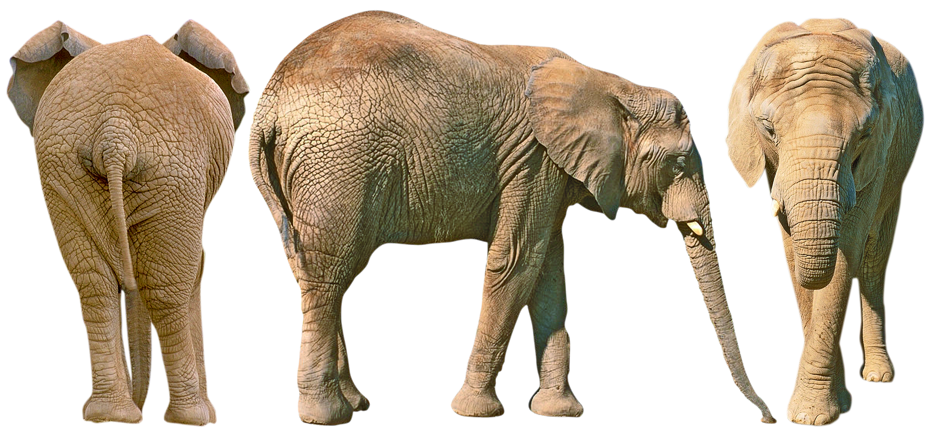 African elephant size and weight