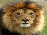 Interesting African lion facts