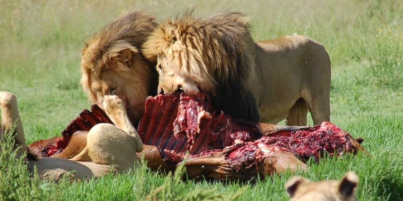 african lion diet