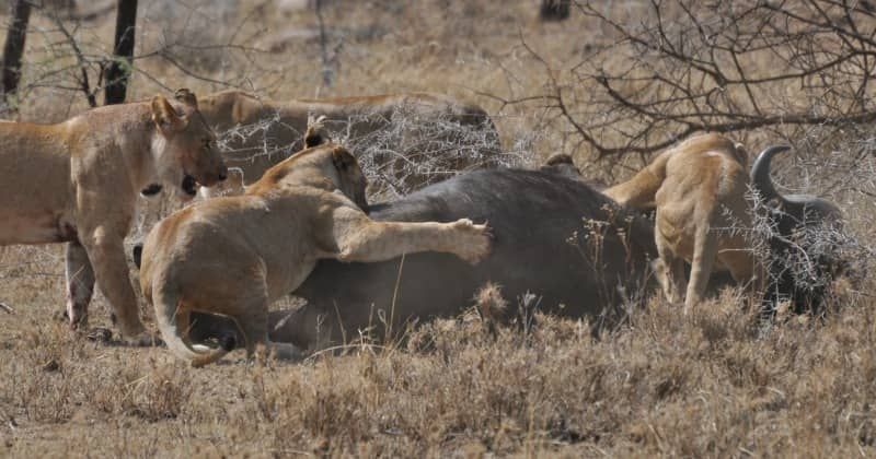 african lion buffalo kill