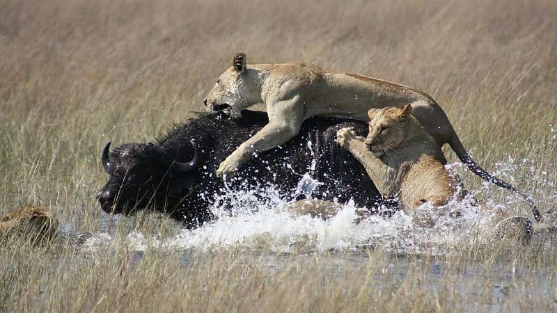 african lion hunting prey