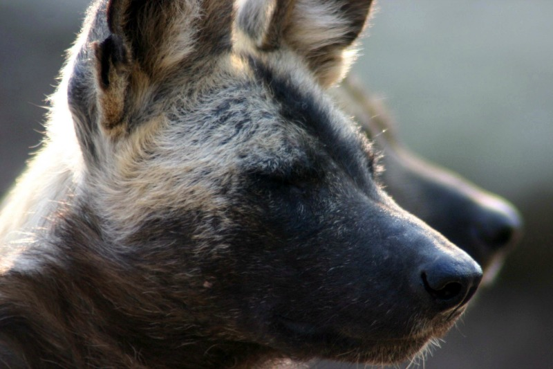 african wild dog facts