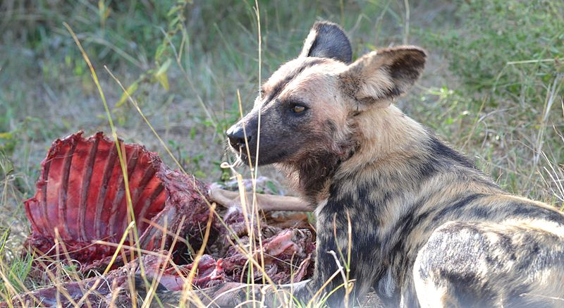 African Wild Dog Eating Habits A Very