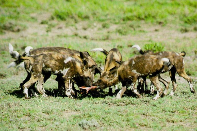 african wild dog on the hunt
