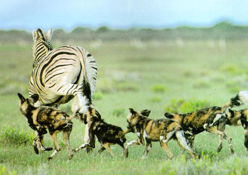 african wild dog hunting facts