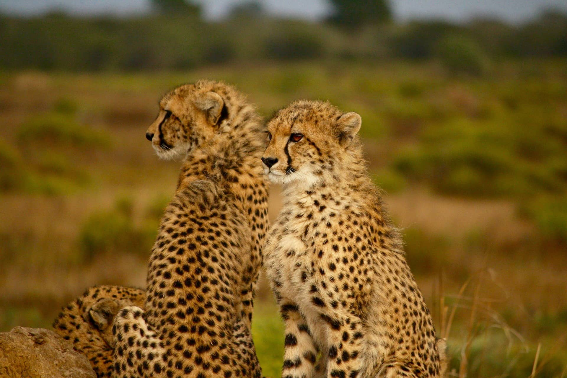 cheetah coalitions