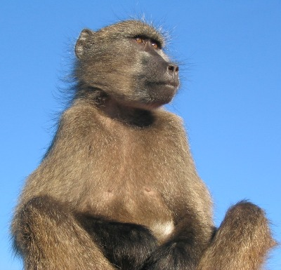 baboon sentry looking out for predators
