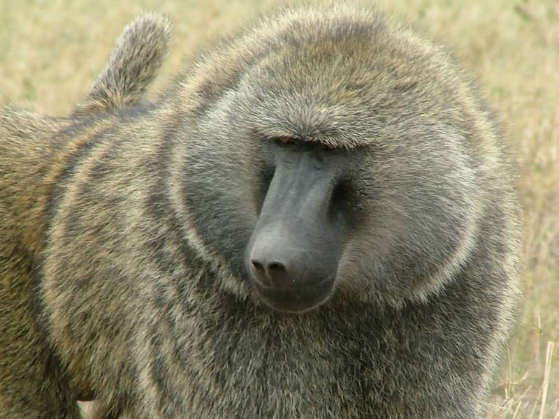 baboon facts