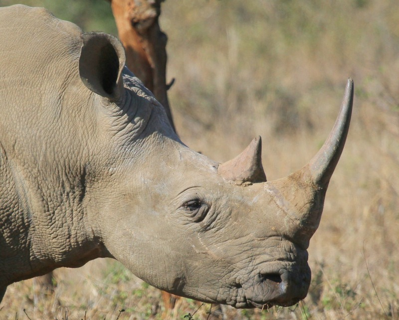 Black rhino interesting facts
