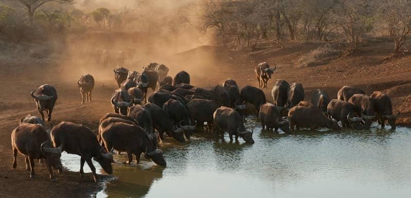 african buffalo fun facts