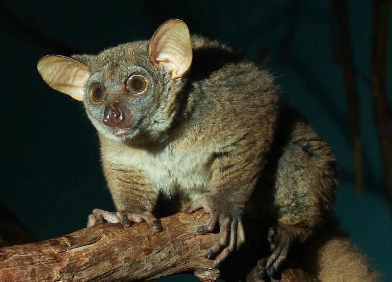 Bush baby facts: how did this African animal get its name?