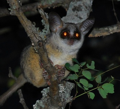 Bushbaby facts