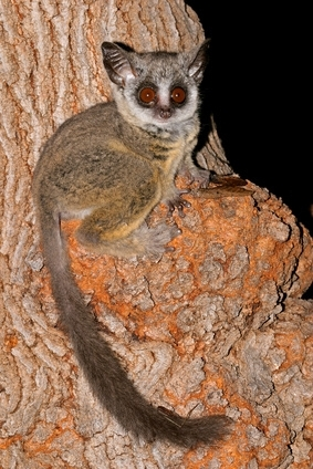 Bushbaby pictures and facts