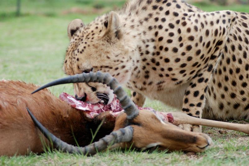 cheetah prey catch
