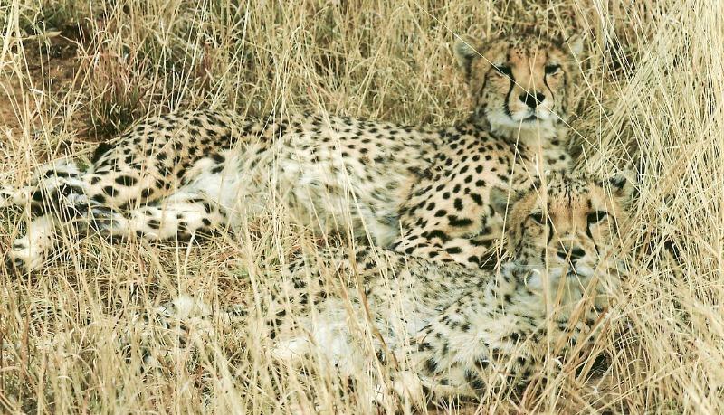 cheetah habitat
