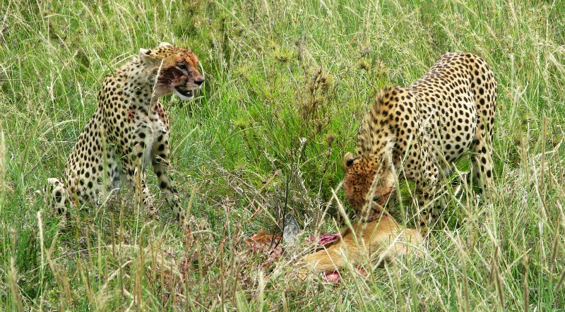 cheetah food