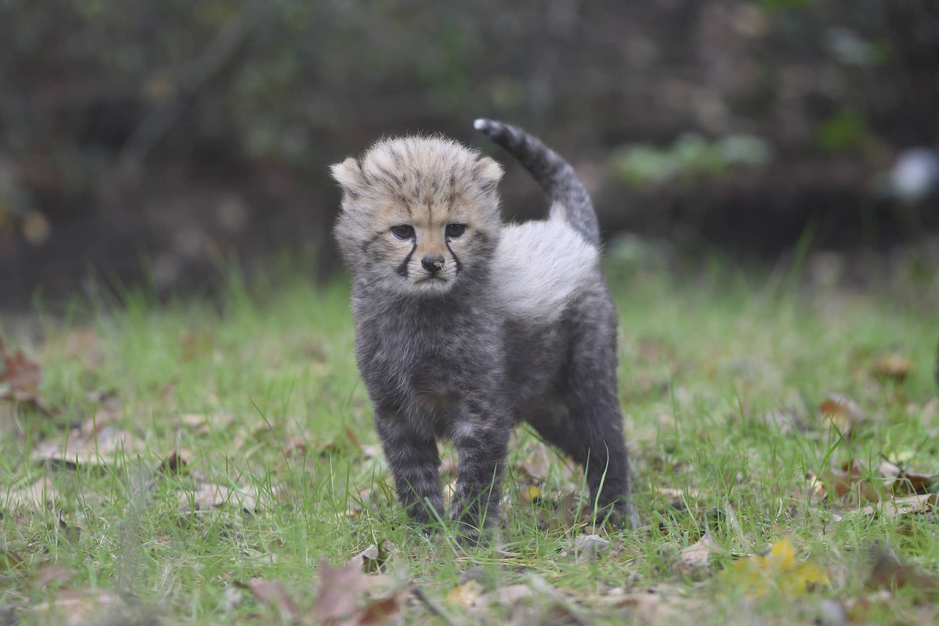 Baby cheetah picture