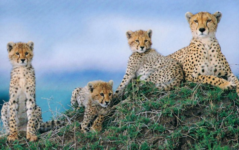 Cheetahs: Amazing facts and pictures show them in action