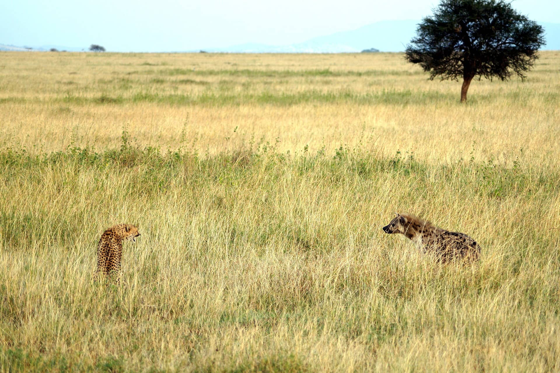 cheetah facts for kids