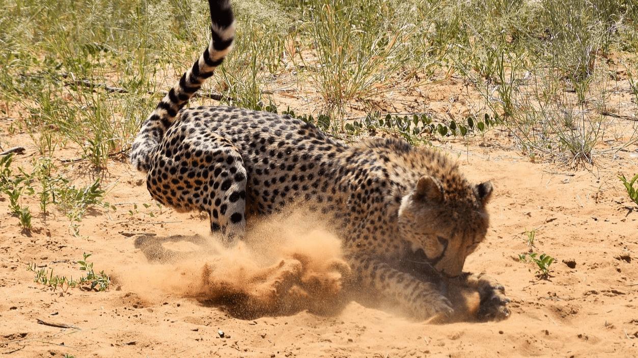 how big is a cheetah?