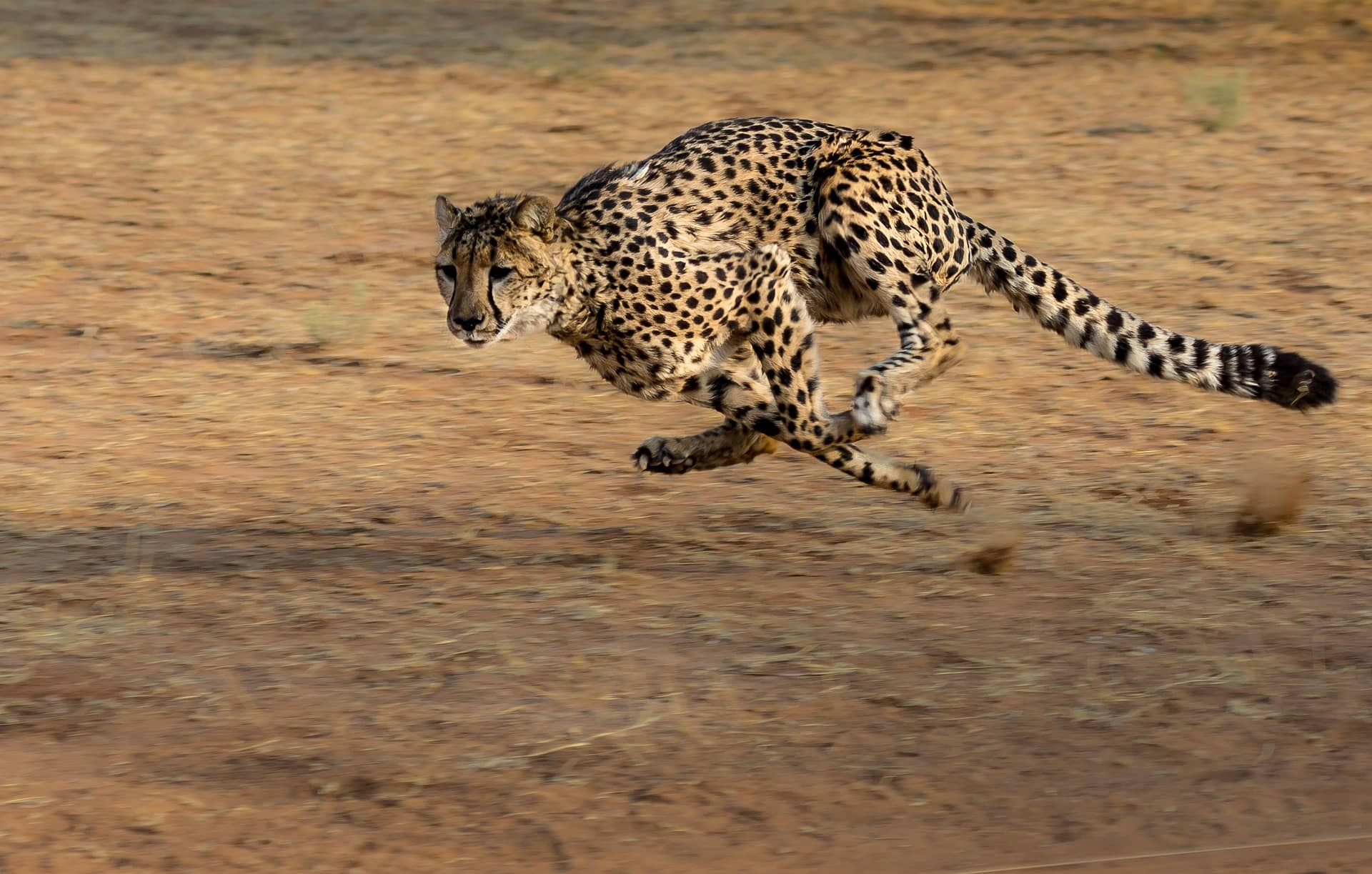 how fast is a cheetah