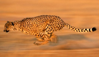 How Fast Do Cheetahs Run   Did you know a shark doesn t