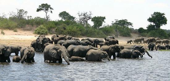 chobe national park elephants