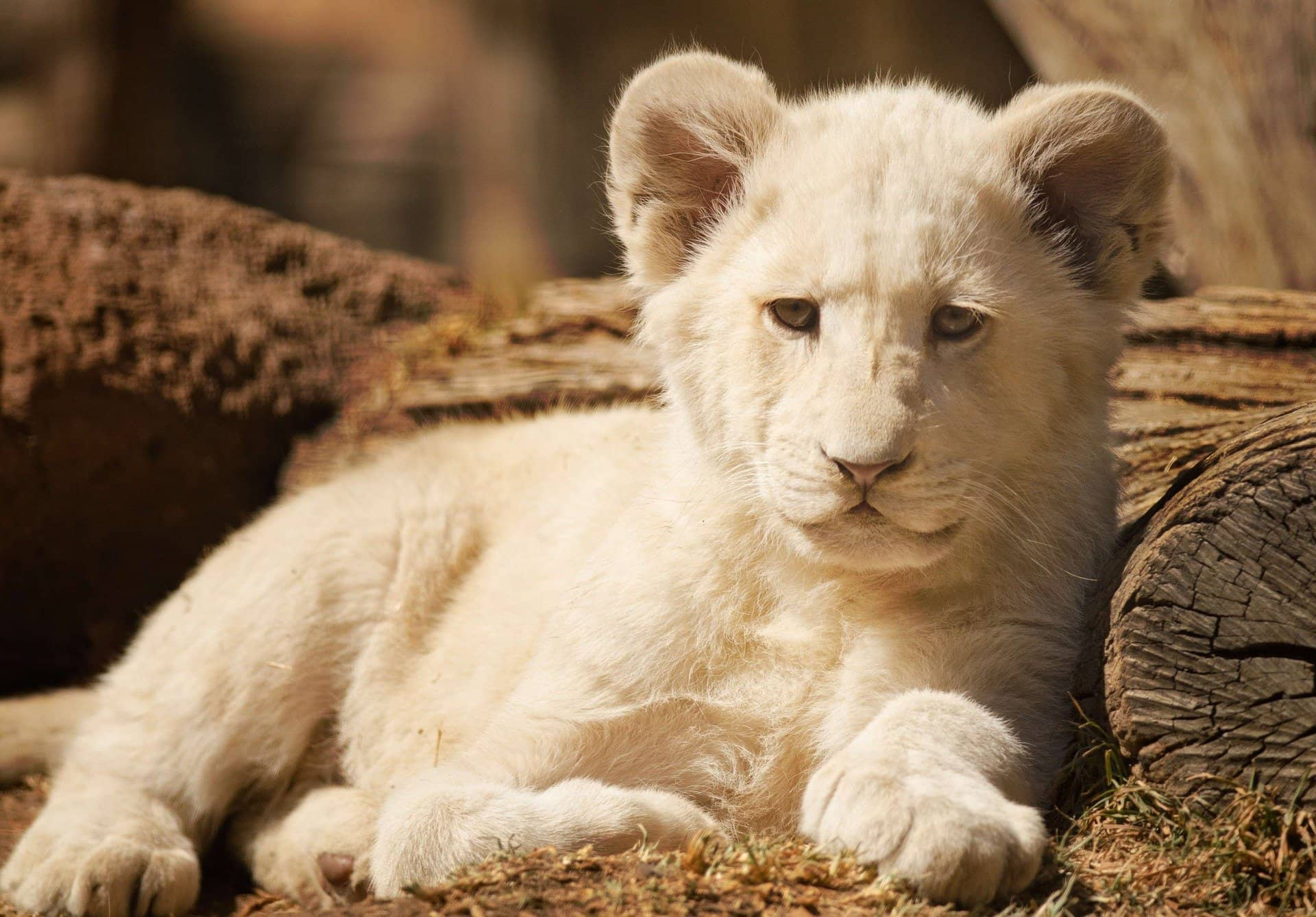 baby white lion cub facts