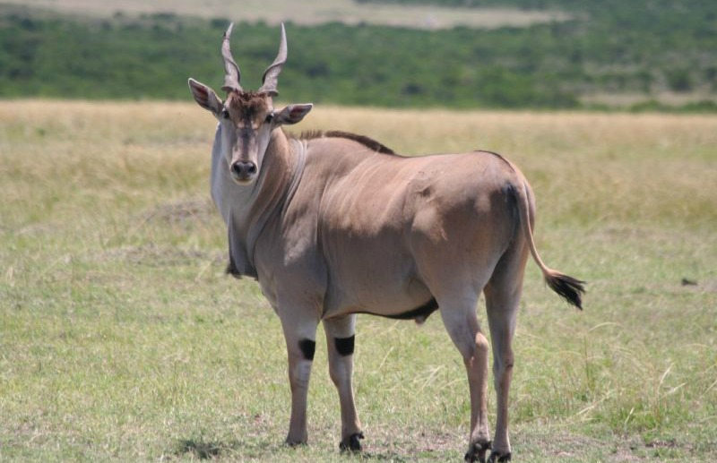 eland animal facts