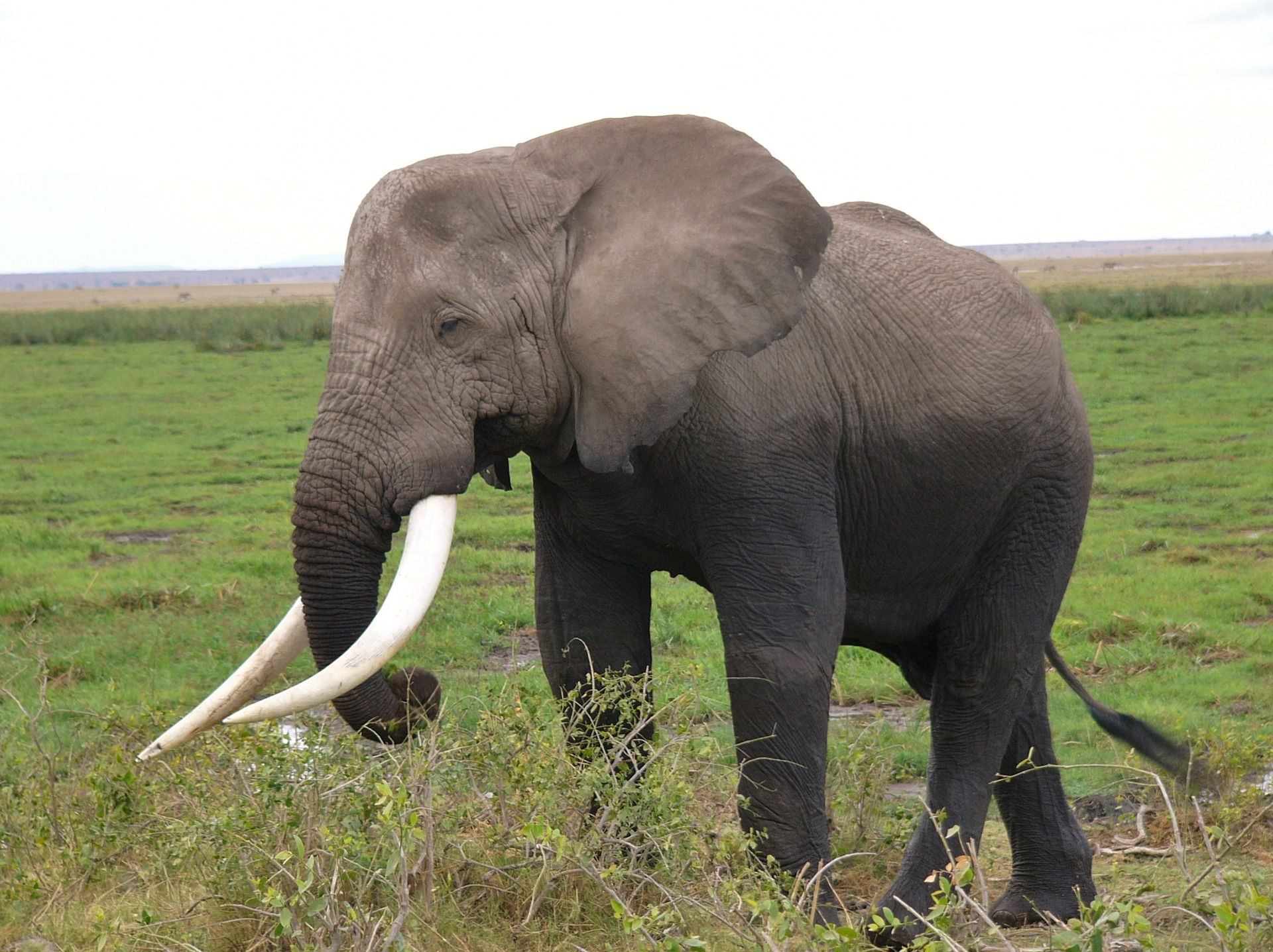 African elephant fun facts