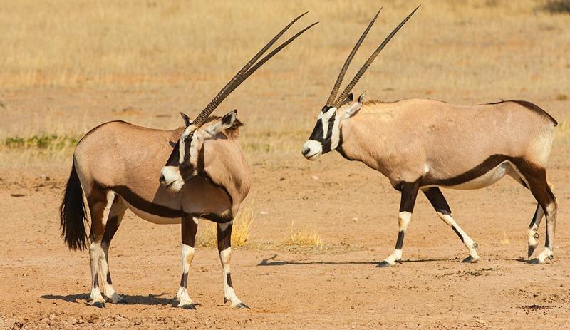gemsbok animal facts