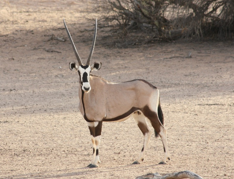 gemsbok interesting facts